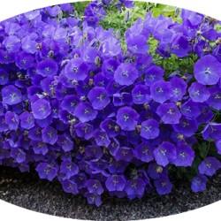 Campanula Blue Chip