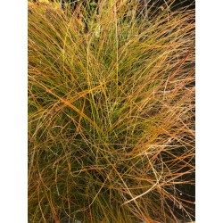 Carex Testacea vaso 9