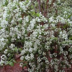 Cornus florida subsp....