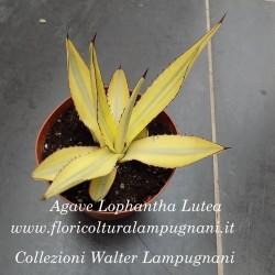 Agave Lophanta Lutea