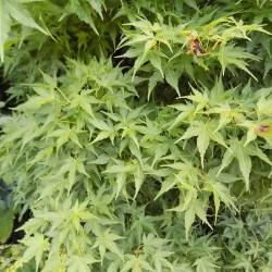 Acer Palmatum nana vaso 9