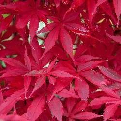 Acer palmatum 'Skeeter's...