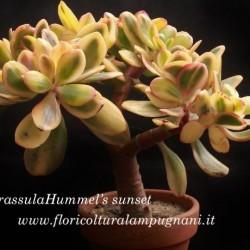 Crassula ovata f. variegata...