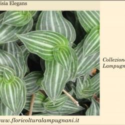 Callisia elegans