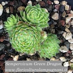 Sempervivum Green Dragon