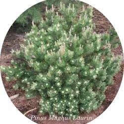 Pinus Mughus Laurin cm. 30/40
