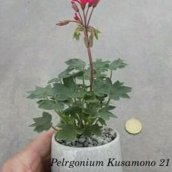 Pelargonium Kusamono 21