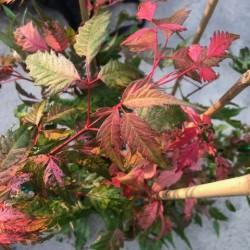 Acer Cissifolium Robusta...