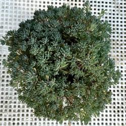 Sedum montanum orientale