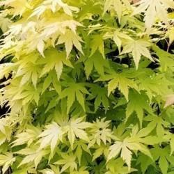 Acer palmatum aurea