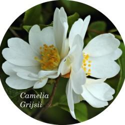 Camelia Grijsii (profumata...