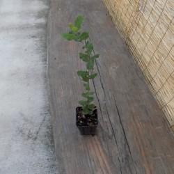 Quercus sempreverde cm. 30/40