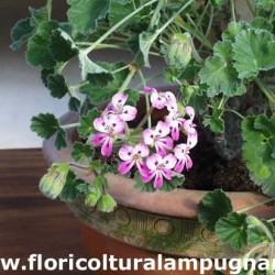 Cortusifolium viola