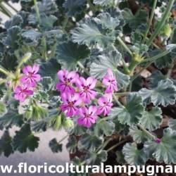 Pelargonium cortusifolium x...