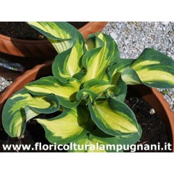 Hosta Great Expectation.®