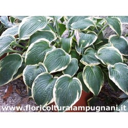 Hosta Fringe Benefit