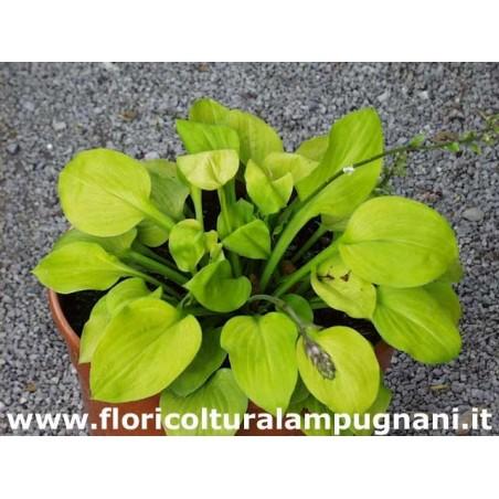 Hosta Vanilla Cream (piante in vaso)