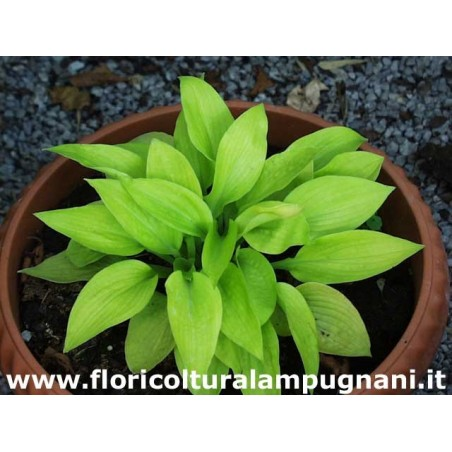 Hosta Little Aurora
