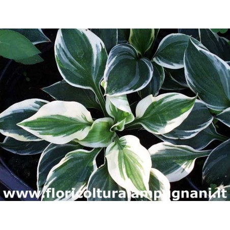 Hosta Fair Maiden