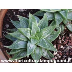 Haworthia retusa cv. grey...