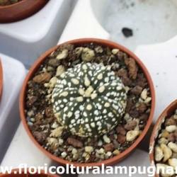 Astrophytum myriostigma...